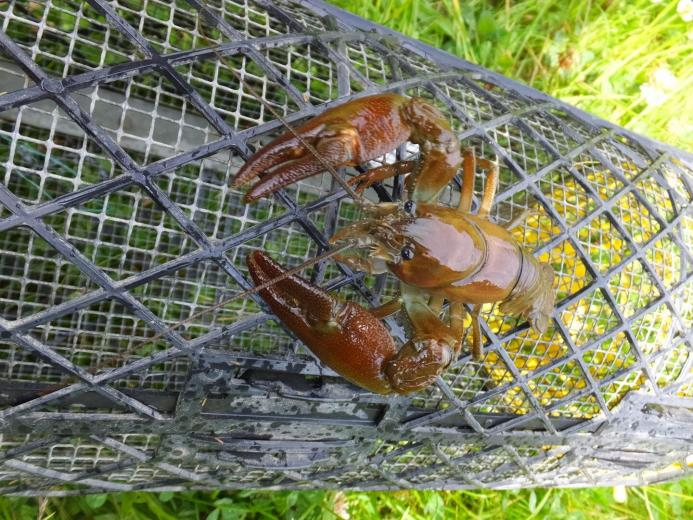 Crayfish 'trapping' fails